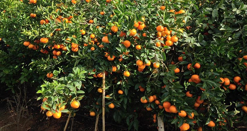 Citrus Propagation