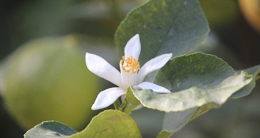 Lemon Blossom