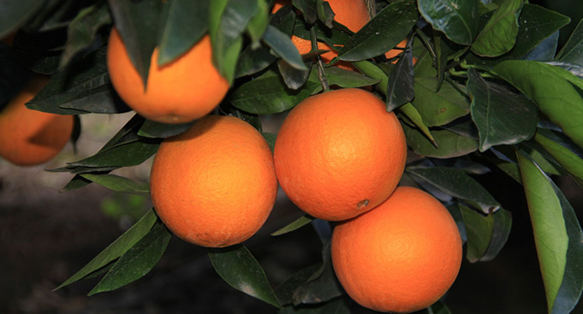 SA won't give up its fight against the EU's intransigence towards our citrus products.