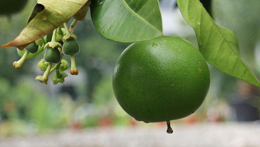 Precision Agriculture Technologies in Citrus