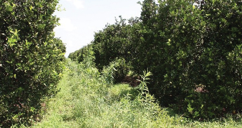 Citrus Grower Sees Success with Cover Crops