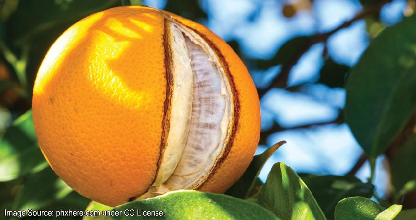 Citrus Fruit Cracking