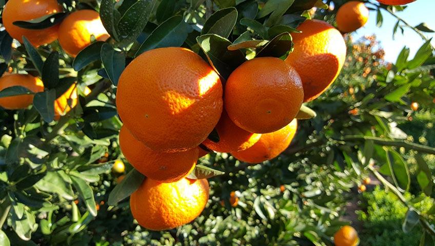 Citrus Fruit Quality