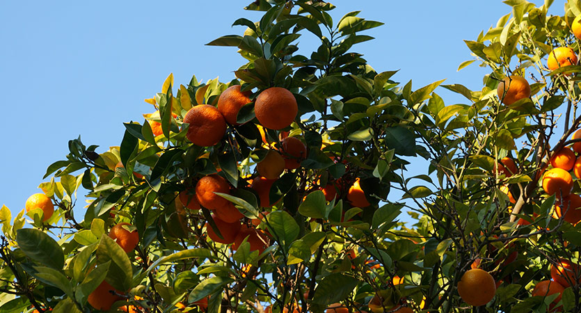 Chloride-stressed Citrus