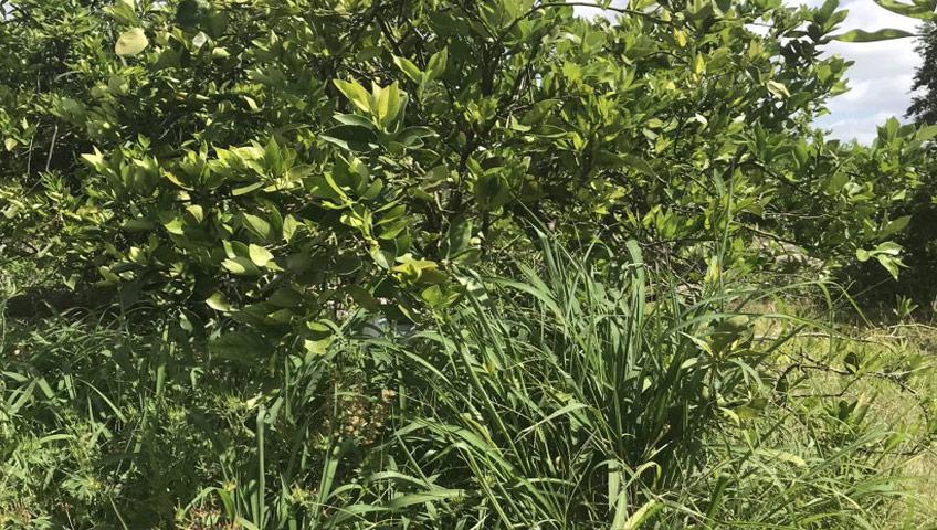 Citrus Weeds