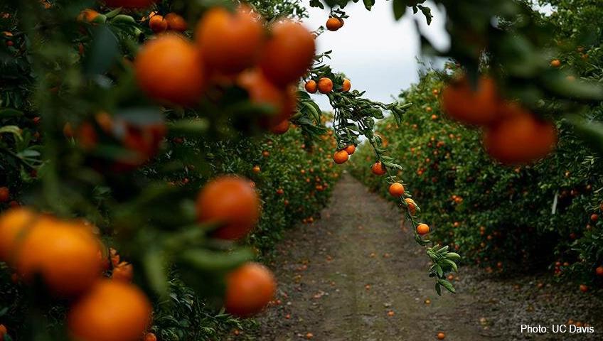 Mandarins for harvest