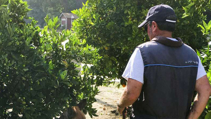 Trained dogs - Citrus Greening