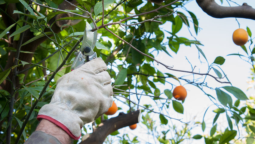 Citrus Rehabilitation from HLB