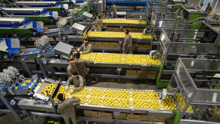 Lemons on Conveyor