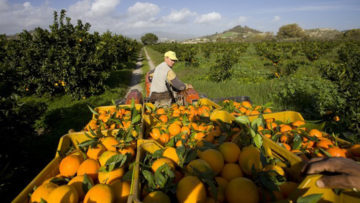Organic blood oranges from Agrofair in Italy