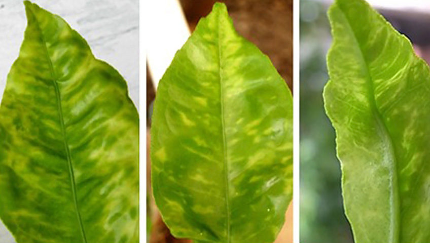CYVC symptoms on young lemon leaves