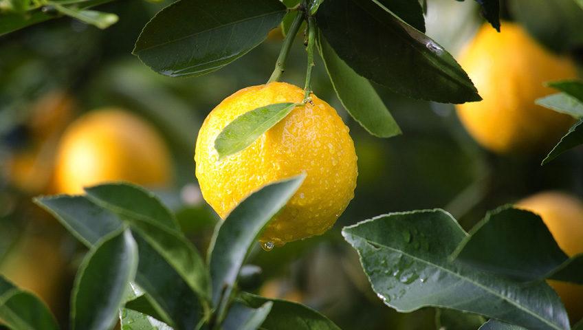 Managing Salinity in Citrus